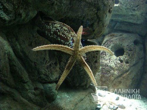 thalassokosmos (aquarium)-asterias