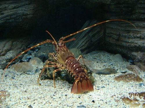 thalassokosmos (aquarium)-craw fish